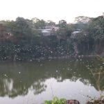 Colonias de garzas pasan varios meses alimentándose en los potreros de Siuna
