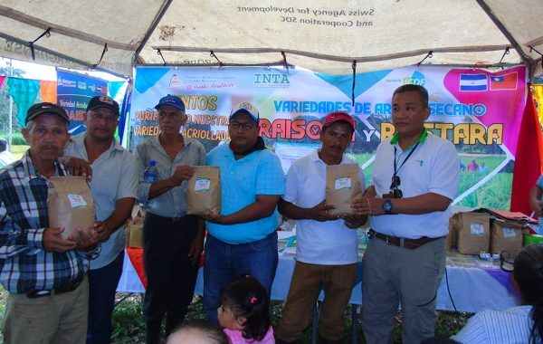 Dos nuevas variedades de arroz están disponibles en Siuna