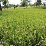 INTA LAS MINAS, nueva variedad de arroz liberada en el Caribe Norte
